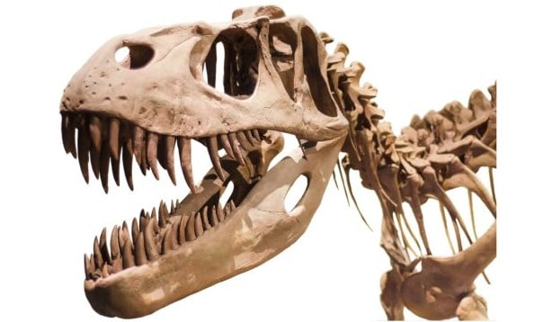 Close View of Teeth of a Tyrannosaurus Rex Dinosaur