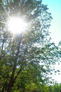 Trees and sun at the park